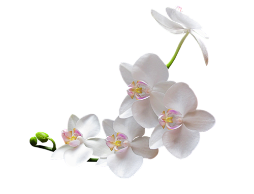 orchidee blanche png